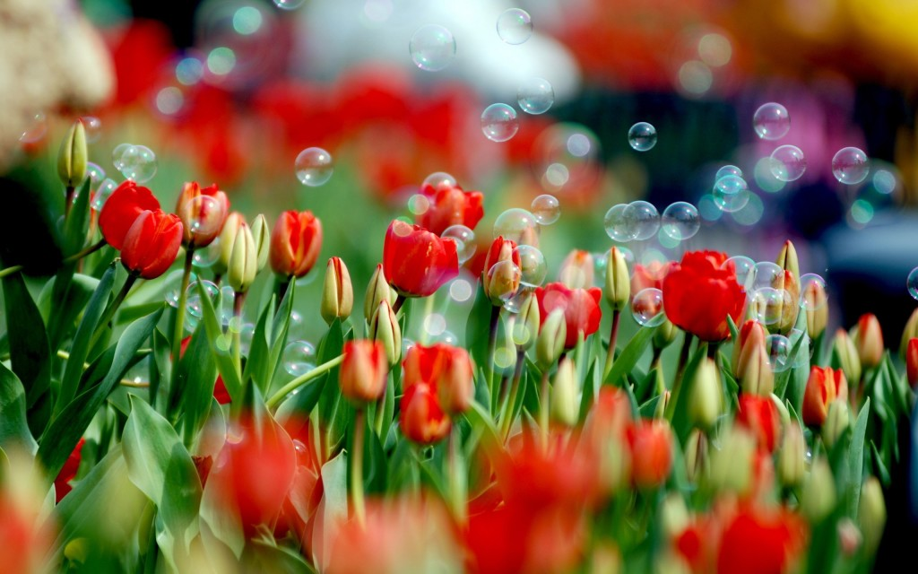 Field-Of-Tulips
