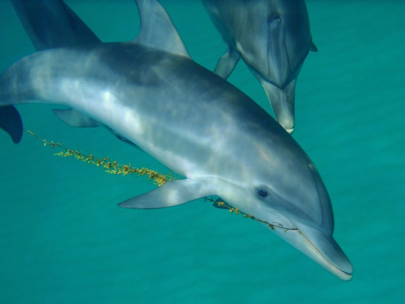 Researchers say they've developed a system that allows them to use dolphins' own language to communicate with the animals. (Courtesy of Denise Herzing)