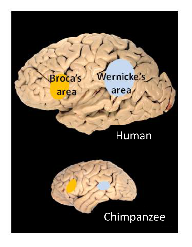 Figure 1. Human brain showing Broca's and Wernicke's areas (upper diagram) and areas of chimpanzee brain showing leftward enlargement (lower diagram). Image credit: Todd Preuss, Yerkes Primate Research Center (http://commons.wikimedia.org/wiki/File:H​uman_and_chimp_brain.png).