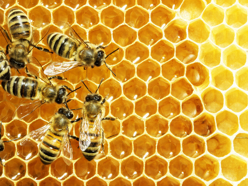 Working bees on honey cells (stock image). Raw honey has been used against infections for millennia, before honey -- as we now know it -- was manufactured and sold in stores. Credit: © Dmytro Smaglov / Fotolia