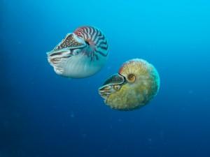 image of allonautilus and nautilus