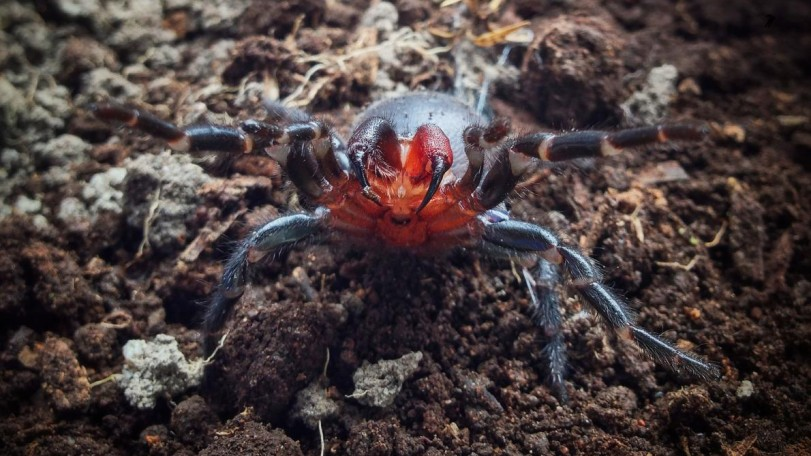 image of red fanged funnel web spider ready to strike
